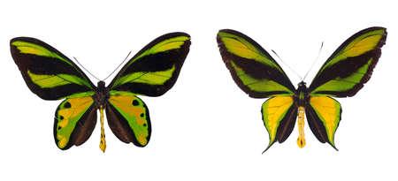 swallowtails: Two birdwing swallowtails