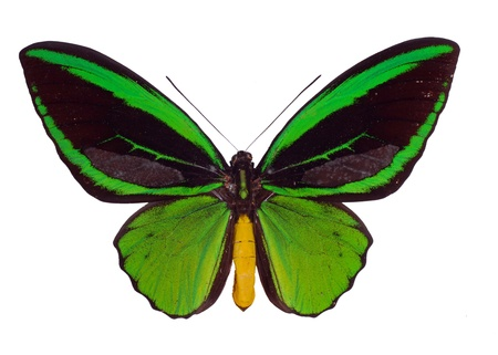 Ornitoptera priamus. Green Birdwing Swallowtail