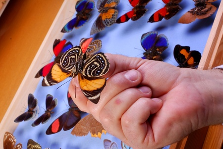 Butterfly collection.  Hand showing a butterfly in front of a case of tropical butterflies