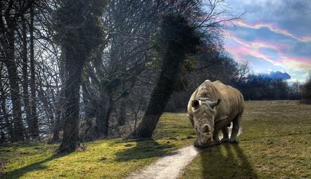 Rhino walking on a woodland road