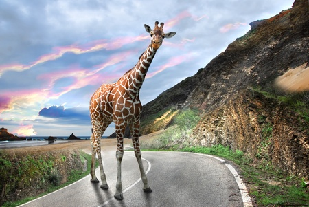 Giraffe walking on a Mountain road Stock Photo