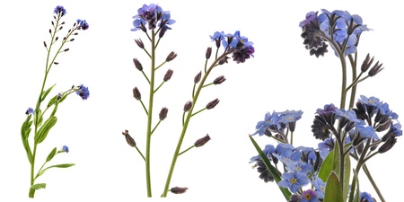 Forgetmenots. Elements. Collection of macro shots of various sizes. Isolated on white. Stock Photo