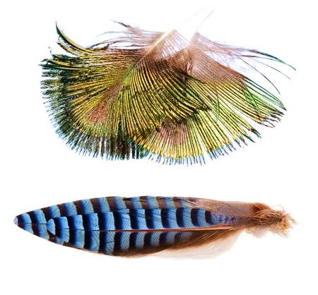 Feather from Peacock and Eurasian Jay (Garrulus glandarius)