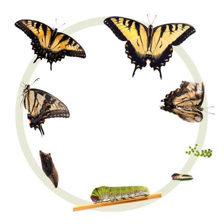 metamorfosis: Ciclo de vida del Tigre Papilionidae Foto de archivo