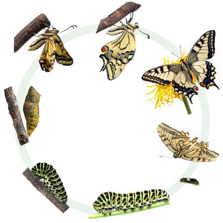Life cycle of the Swallowtail butterfly photo