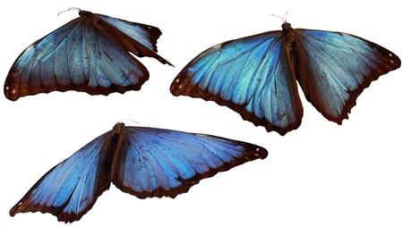 morpho: 3 morpho butterflies Stock Photo