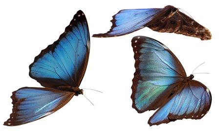 3 morpho butterflies Stock Photo