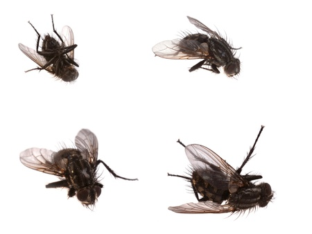 4 dead flies isolated on white Stock Photo