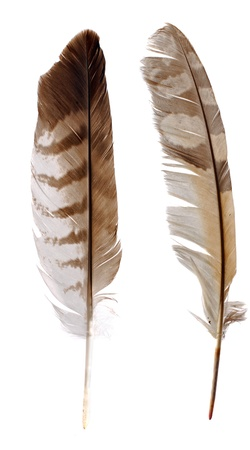 buzzard: Feather from Bird of Preys (buzzard and owl) Stock Photo
