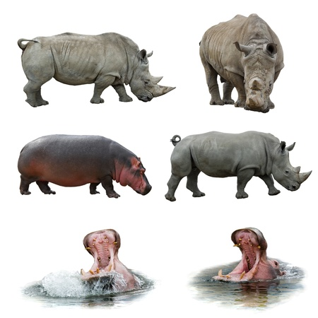 animal in the wild: Collection of hippos and rhinos