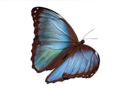 Blue morpho butterfly, flying  Stock Photo
