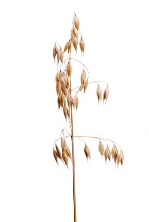 cereal ear: Ripe oat Stock Photo