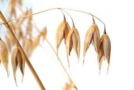 Ripe oat Stock Photo