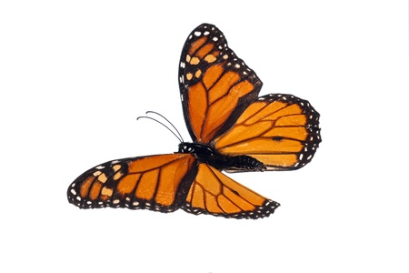 plexippus: Monarch (Danaus plexippus) Stock Photo
