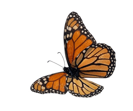 isolated spot: Monarch (Danaus plexippus) underside Stock Photo