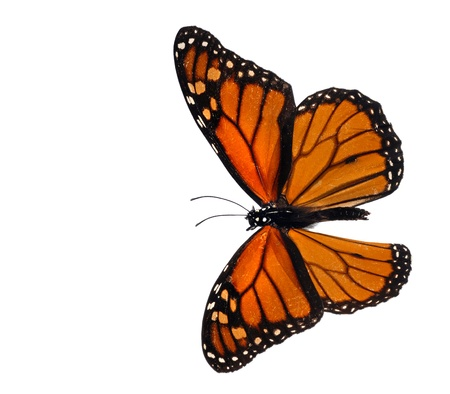 isolated spot: Monarch (Danaus plexippus) Stock Photo