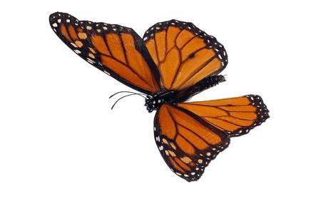 danaus: Monarch (Danaus plexippus) Stock Photo