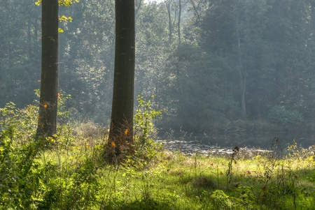 Backlit oaks in front of a forest clearing photo