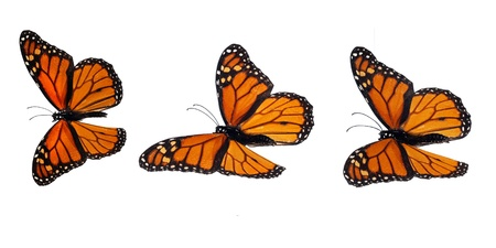 Monarch butterflies upperside. Flying Stock Photo