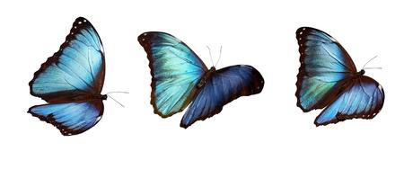 Three Blue morphos Stock Photo