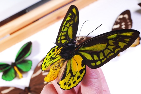lepidopteran: Butterfly collection.  Hand holding an Ornithoptera butterfly.