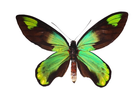 Birdwing swallowtail