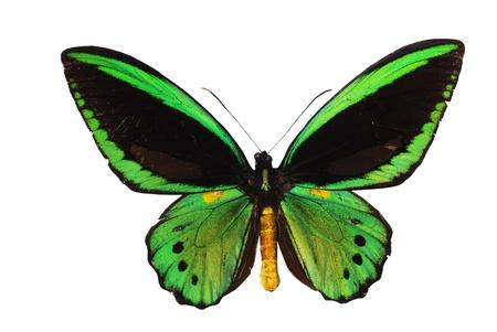 fairy wings: Ornitoptera priamus.