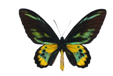 rare animals: Rothschild birdwing  (Ornithoptera rothschildi) Stock Photo