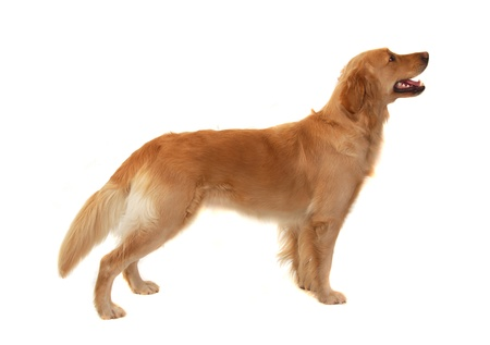 Golden retriever isolated on white Stock Photo