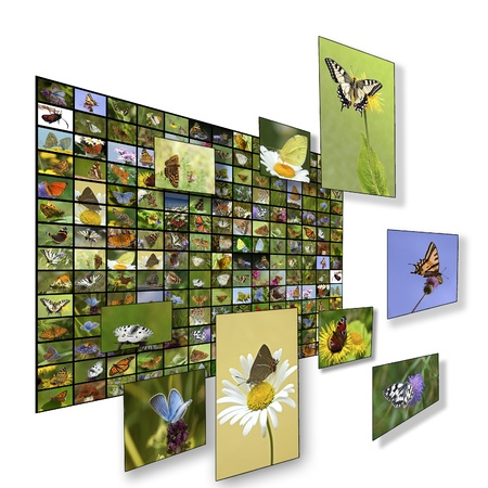 Wall of butterfly pictures. European species.