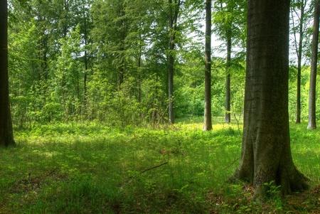 scandinavian landscape: Beech trees.