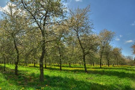 under tree: Cherry trees.