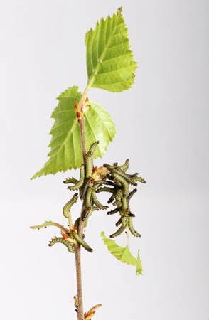 Caterpillars of the Kentish Glory Stock Photo