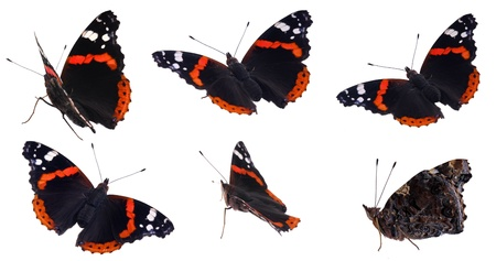vanessa: The red Admiral  Vanessa atalanta  in various positions, isolated on white Stock Photo