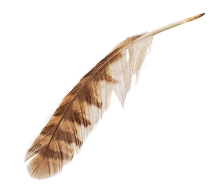 tawny owl: Feather from bird of prey tawny owl