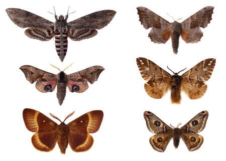 sphingidae: Moths