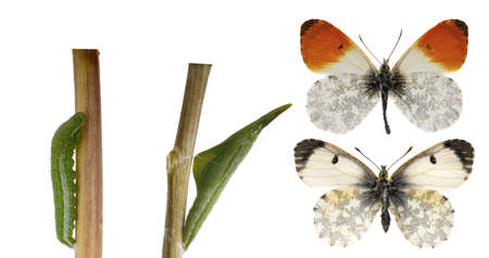 The orange tip, Anthocharis cardamines life cycle Stock Photo - 14210738