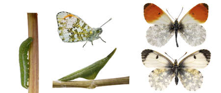 The orange tip, Anthocharis cardamines life cycle photo