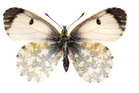 pieridae: The orange tip, Anthocharis cardamines female Stock Photo