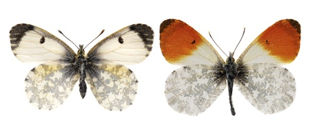 The orange tip, Anthocharis cardamines male and female