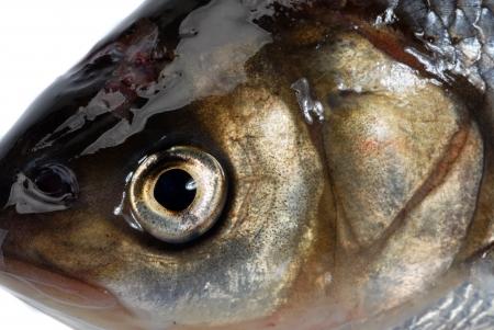 ide: Ide fish (Leuciscus idus)