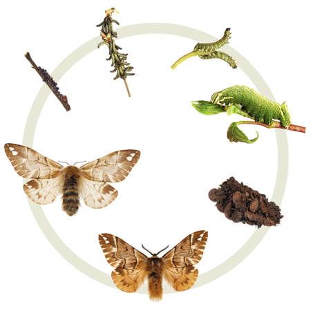 ciclo de vida: El ciclo de vida de la Gloria Kentish Foto de archivo
