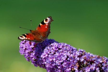 A peacock butterfly (Ichnasis io) on a budelia flower photo