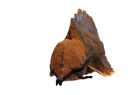 Lappet moth  Gastropacha quercifolia  male photo