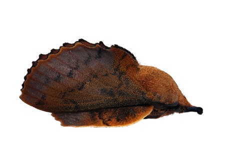 Lappet moth (Gastropacha quercifolia) male photo