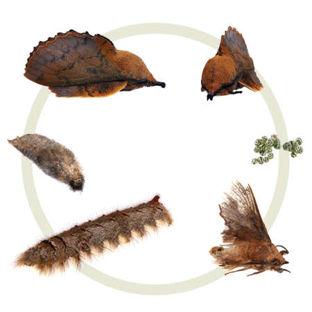 The metamorphosis of the Lappet Moth photo