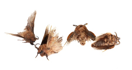 imago: Four dead and worn out mouths  The Lappet Moth   Gastropacha quercifolia  , isolated on white