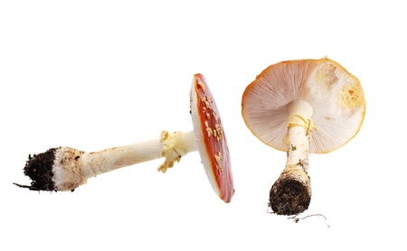 Fly agaric Stock Photo