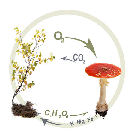 oxygene: Symbiosis  Composite showing the symbiosis between a Fly Agaric  Amanita muscaria  and a birch tree  The mushroom recieves sugar and oxygene from the tree and returns minerals and carbondioxide