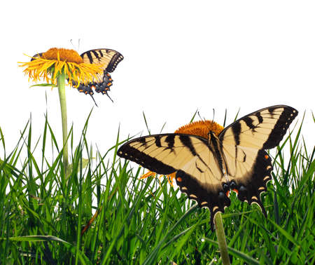 swallowtails: Grass with tiger swallowtails (Papilio glaucus). Stock Photo
